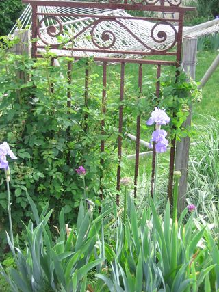 Iris hammock